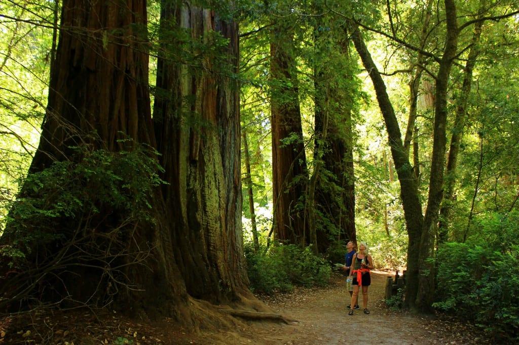 Alle blir små i forhold til de gigantiske Redwoodtrærne